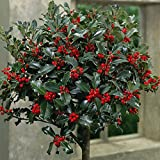 Standard Holly Tree for Gardens & Patios, Attractive Evergreen Producing Red Berries in Winter, 2 x Holly Green Alaska (Ilex) 2 Years Old Standard Plant by Thompson & Morgan