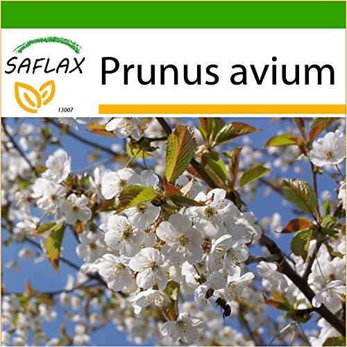 SAFLAX - Cerisier des oiseaux - 10 graines - Avec substrat - Prunus avium