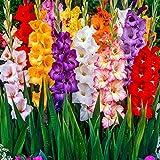 bulbi da fiore alta qualita' per fioritura primaverile - estiva - autunnale (10, gladioli in miscuglio)