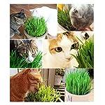 Graines d'herbe de chat de Bornbayb graines d'herbe de blé pour le chat, paquet au-dessus de 800 PCs et 1600 PCs #3