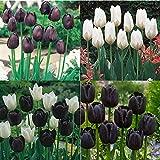 Exótico,Bulbos Tulipán,Tulipan Bulbos,Planta Rara,Los Tulipanes Son Gran Valor-15 Bulbos