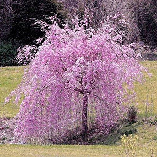 20 x rosa Kirschbaum-Samen, Brunnen Weeping – Garten Blumensamen Bonsai Pflanze Home Office Decor