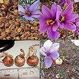 8 bombillas de azafrán de Crocus Sativus, semillas de flores fáciles de cultivar, plantas de jardín para mujeres, hombres, niños, principiantes, regalo de jardineros