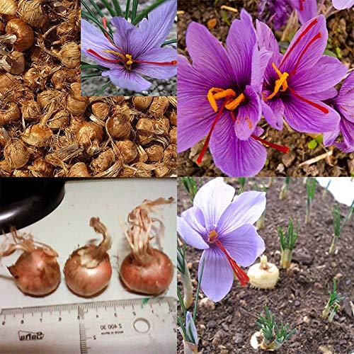 Lot de 8 bulbes de safran Crocus Sativus - Graines de fleurs faciles à cultiver - Pour femmes, hommes, enfants, débutants, jardiniers - Cadeau