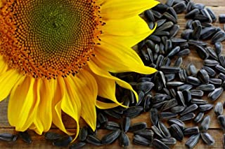 David's Garden Seeds Sunflower Black Oil YO9736 (Black) Non-GMO, Hybrid Seeds One Pound Package