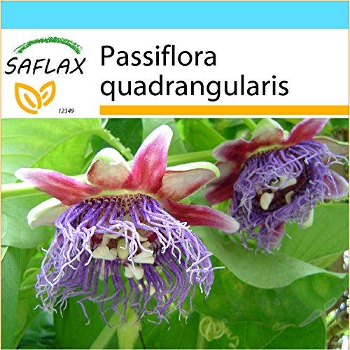 SAFLAX - Geschenk Set - Riesengranadilla/Königsgranadilla - 12 Samen - Mit Geschenk- / Versandbox, Versandaufkleber, Geschenkkarte und Anzuchtsubstrat - Passiflora quadrangularis