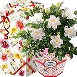 花のギフト社 母の日 ガーデニア くちなし 鉢花 花鉢 鉢植え プレゼント 花 鉢 フラワーギフト