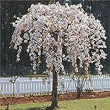 Subaya Live Weeping Japanese Cherry - Weeping Cherry Tree 2 Plants