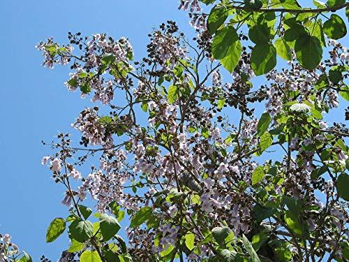 Blauglockenbaum Paulownia tomentosa Pflanze 25-30cm Kaiserbaum Kaiser-Paulownie