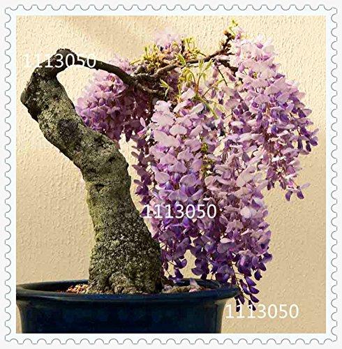 graines de Wisteria, bonsaï Wisteria sinensis arbre 100% vraie semence tir en nature, 100 pcs / sac