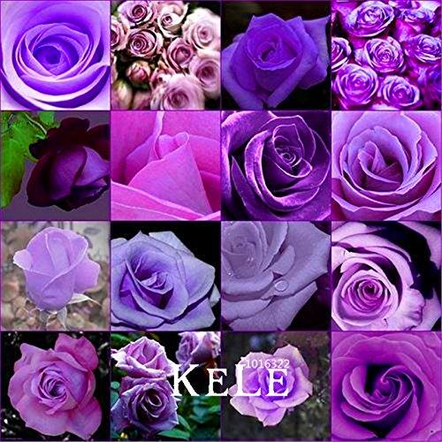 Promotion! 10 Pcs / Lot à bas prix rares burpee parfum Couleurs Purple Rose graines semences de fleurs maison jardinage Plantes d'extérieur jardin, # HDYCEV