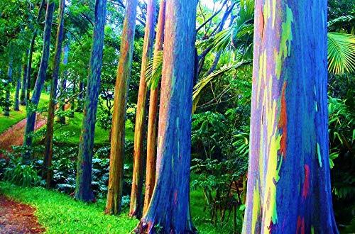 50 Seeds Eucalyptus Deglupta Rainbow Gum Rare Exotic Tropical Tree Bonsai #TRFTM