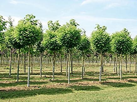 Etwas Neues genug Suchergebnis auf Amazon.de für: akazie Baum - Gartenarbeit: Garten #HI_87
