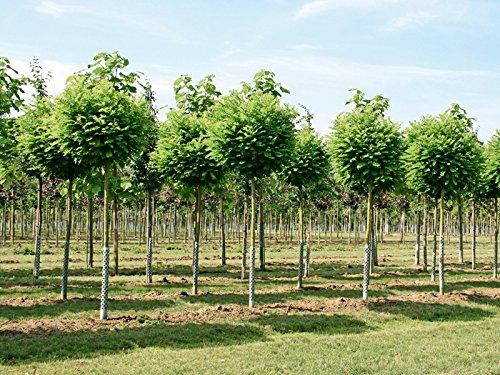 Kugelakazie - Robinia pseudoacacia Umbraculifera - Kugelbaum - Hochstamm - Stammumfang 10-12 cm - Containerware - Garten von Ehren®