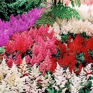 Best astilbe seeds for sale Reviews