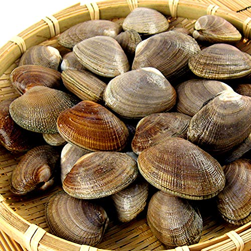 【獲れたてをお届け】北海道厚岸産 獲れたて 活あさり (あさりえもん) 殻付き 1.0kg[大サイズ] 味噌汁 グルメ