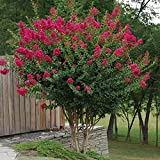 Tonto Dwarf Crape Myrtle, Pack of 5, Striking Dark Watermelon Red, Matures 8'-10' (2-4ft Tall When Shipped, Well Rooted in Pots with Soil)