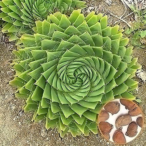 CFPacrobaticS 100pcs Aloe Polyphylla Seme Piante Grasse Ufficio Per La Casa Orticoltura Crescere Facilmente, Casa Fattoria Cortile Piante, Decorazione Regali Da Giardino