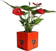 Rolling Nature Exotic Anthurium Red Plant in Orange Cube Aroez Ceramic Pot