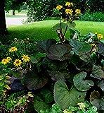 Portal Cool 10 Samen Ligularia Gelb/Ligularia Dentata/Blumen-Ordnungs-Becken