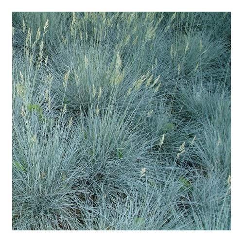 Festuca cinerea Glauca/Blue Fescue Grass/Hardy Evergreen/Seeds