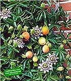 BALDUR Garten Exotisch Maracuja-Pflanze 1 Pflanze Passiflora edulis Passionsblume Passionsfrucht essbar -