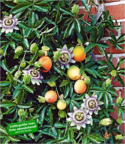 BALDUR-Garten Exotisch Maracuja-Pflanze 1 Pflanze Passiflora edulis Passionsblume Passionsfrucht essbar