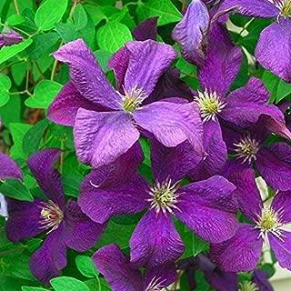 15+ Seeds of Clematis - Jackmanii. Beautiful Violet-purple Flowered Vine! Large Flowers.
