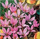 Adolenb Seeds House- 100pcs Graines de Safran, Graines de Plantes Vivaces Rares Graines de Fleurs Ornementales Bulbes pour le Jardin Domestique