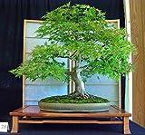 Semillas Semillas Bonsai Seifu 50pcs / pack de la secoya de amanecer Bonsái Grove - Metasequoia glyptostroboides, jardinería bricolaje en casa!