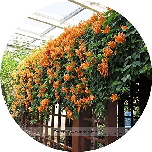 SANHOC I Semi della Confezione: Rare Orange pyrostegia Venusta Seme Semi 5 Semi