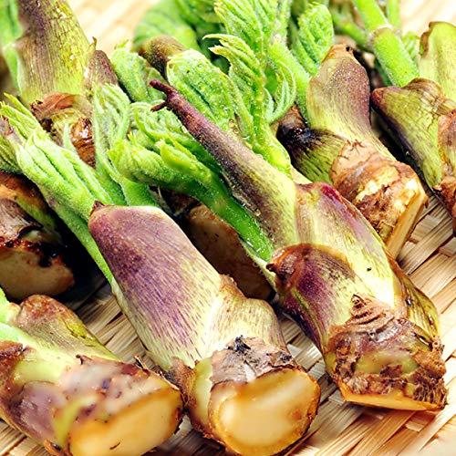 山形県産 山菜 天然 タラの芽 1kg入り たらの芽 タラノ芽 たらのめ タラノメ 山形 グルメ お取り寄せ