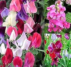 Big Pack - Sweet Pea Sweetpea Flower Seed (400+) Lathyrus odoratus Flower Seeds - Heirloom Mix Very Fragrant Blooms - Red ...