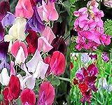 Big Pack - Sweet Pea Sweetpea Flower Seed (400+) Lathyrus odoratus Flower Seeds - Heirloom Mix Very Fragrant Blooms - Red Salmon Pink Lavender - Non-GMO Flower Seeds By MySeeds.Co (Big Pack Sweet Pea)
