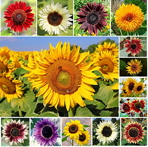 Mix Color Sunflower Seeds for Planting Outdoors (Helianthus annuus) Non-GMO Flower 100+