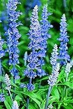 Blue Sage (Salvia Farinacea) 500 Seeds, Organic Easy to Grow- Perennial !