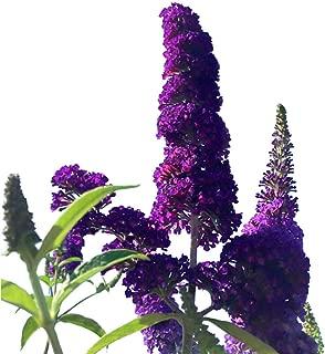 Butterfly Bush Seeds (Buddleia davidii) Black Knight + 1 Free Plant Marker (200)