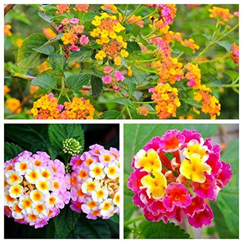100 piezas de semillas de flores japonesas de Prunus Mume semillas de bulbos de flores gigantes exóticas Mini Bonsai de cereza en maceta Hogar y jardín