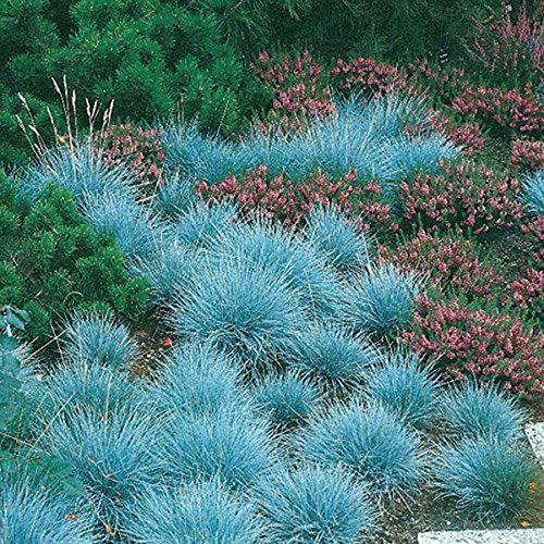 10000 graines fraîches - bleu fétuque graminée semences