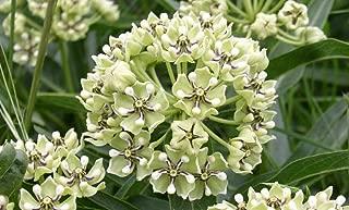tall green milkweed