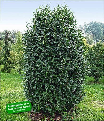BALDUR Garten Immergrün Säulen-Kirschlorbeer Genolia®, 1 Pflanze Prunus laurocerasus Genolia® winterhart