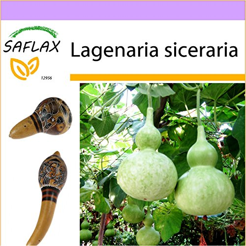 SAFLAX - Calabaza de peregrino - 15 semillas - Lagenaria siceraria