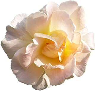 Brindabella Glow Shrub Rose - One of The World's Most Fragrant Roses - 4
