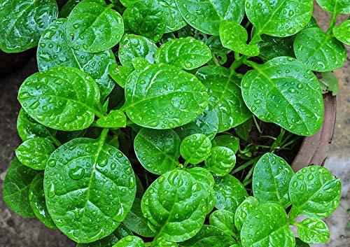 Semillas de Espinaca Enredadera 20 Semillas de Basella Alba o Espinaca China
