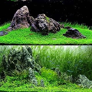 アクアリウムの水生植物の種2袋、淡水魚水槽のための短い水草の種、育てること容易カーペットの植物