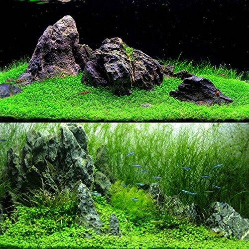 Rosepoem Semillas de Plantas de Acuario, 1000 Unids Agua Semillas de Hierba Depósito de Peces Paisaje Semilla de Hierba Plantas vivas - Hierba de Agua Corta