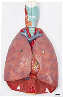 Axis Scientific Human Lung and Respiratory System Model | 3/4 Life Size Model has 7 Removable Parts | Includes 2 Part Hear...