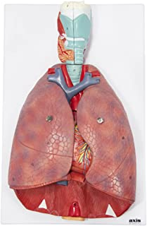 Axis Scientific Human Lung and Respiratory System Model   3/4 Life Size Model has 7 Removable Parts   Includes 2 Part Heart and Detachable Larynx   Includes Product Manual   3 Year Warranty