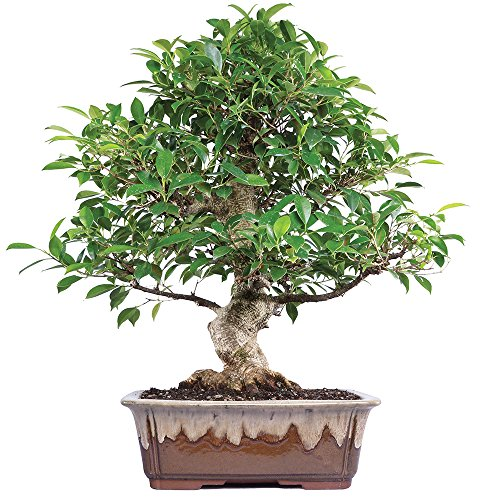 Brussel's Live Golden Gate Ficus Indoor Bonsai Tree - 15 Years Old; 18' to 22' Tall with Decorative Container