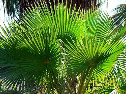 Washingtonia robusta 20 Palmensamen Petticoat-Palme
